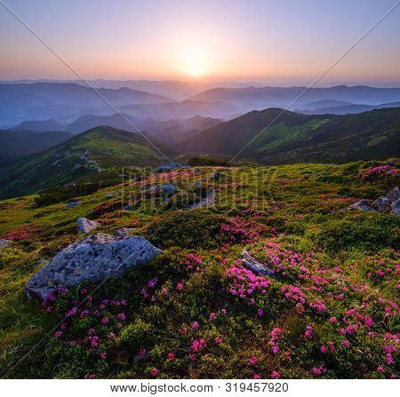 Pink Rose Rhododendron Flowers On Early Morning Summer Mountain Slope, Carpathian, Chornohora,  Ukra