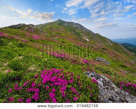 Pink Rose Rhododendron Flowers (in Front, Close-up) On Summer Mountain Slope And Pip Ivan Mount Peak