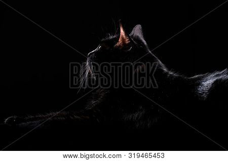 Profile of domestic black cat isolated on a dark background