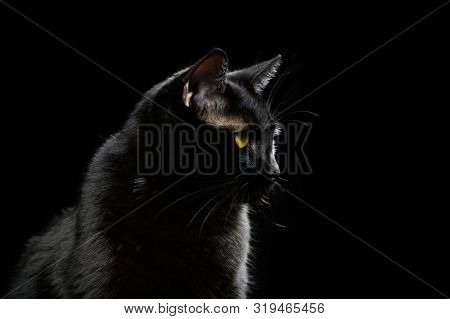 Black domestic cat looking forward isolated on a dark background