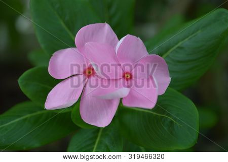 Pink Catharanthus Flower From Central Of Thailand