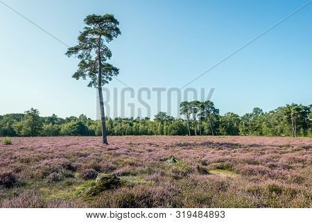 Dutch Landscape With A Tall Pine Tree Between The Purple Flowering Heather. The Phot Was Taken On Th