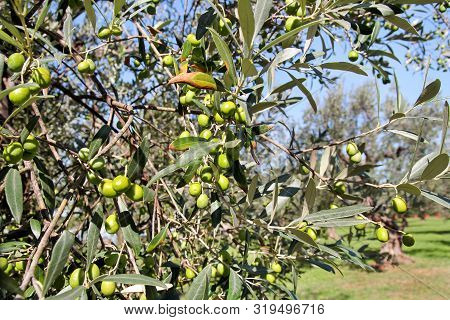 Green Olives In A Olive Tree Branch. Olive Tree With Green Olives, Close Up. Concept Of Olives, Trad