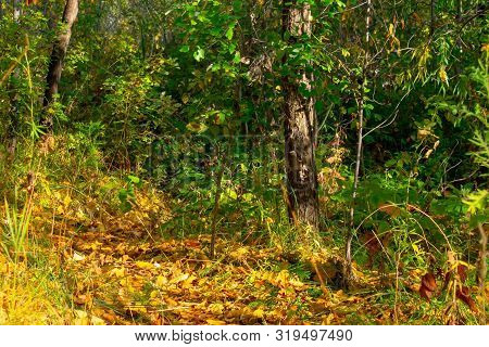 Dense autumn forest. Beautiful natural colors of yellow and green. Mellow autumn or Indian summer. poster