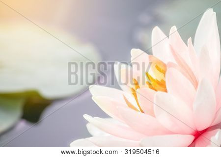 Beautiful Pink Water Lily Or Lotus Flower In Pond. Royalty High Quality Free Stock Footage Of A Pink