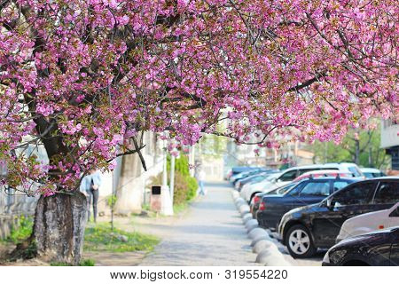 Street With Pink Sakura (flowering Cherry) Blooming Tree In Uzhgorod, Ukraine