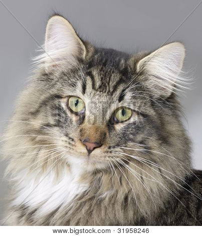 portrait of a Norwegian Forest Cat in grey back poster