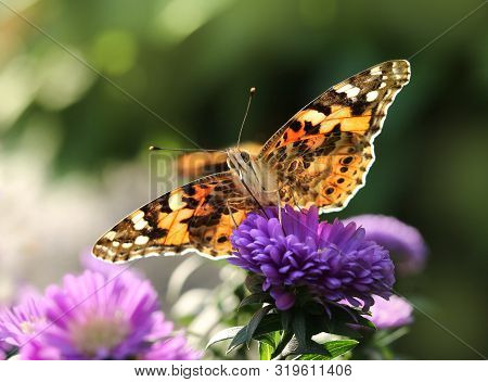 Beautiful Painted Lady Butterfly In Summer Garden On Purple Flower Petals Macro