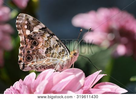 Beautiful Painted Lady Butterfly In Summer Garden On Pink Flower Petals Macro Close-up