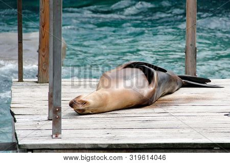 On A Jetty Lying Sea Lion In Latin Zalophus Californianus