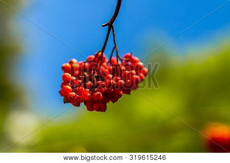 Red Rowan Berries On A Branch. Sorbus Aucuparia.