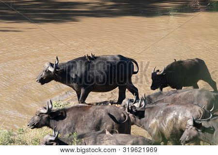 A Herd Of African Buffalo Drinking And Wallowing At A Waterhole In South Africa.