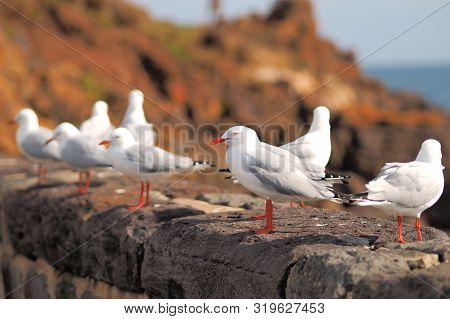 Row Of Seagulls On A Stone Wall At The Ocean Shore, Mornington 2019