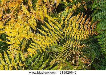 Close Up Of Fern Leaves Nature Background. Nature Background Of Fern Leaves. Fern Leaves Nature Back