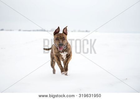Happy Striped American Staffordshire Terrier In The Snow, Stafford In Winter, Running Amstaff, Jumpi