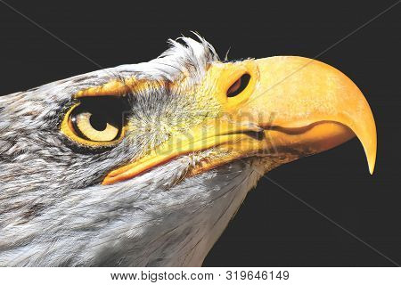 Close-up Of A Bald Eagle With A Yellow Beak On A Black Background.