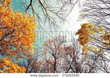 Fall trees backgorund - orange fall trees tops against blue sunny sky. Fall natural view of golden fall forest trees in vintage tones