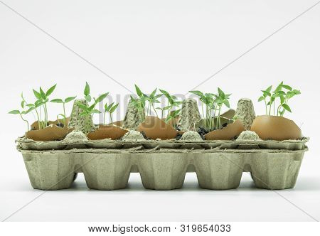 Young Plants Or Young Chilli Plants Grown In The Eggshell On White Background.