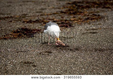 A  Pacific Gull Eating A Crab On A Sandy Shore Surrounded By Kelp At The Goat Rock Beach, Sonoma, Fr