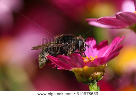 A Bumblebee Mimicking Hoverfly On A Pink Daisy Flower