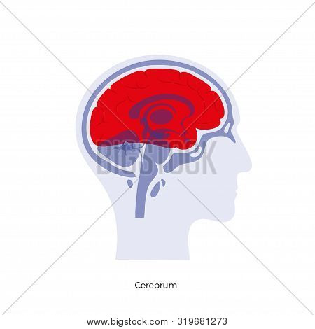 Vector Isolated Illustration Of Cerebrum In Man Head. Human Brain Components Detailed Anatomy. Medic