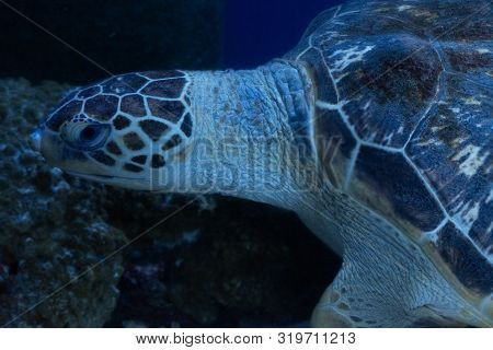 Sea Turtle. Hawksbill Turtle. Eretmochelys Imbricata. Close Up.
