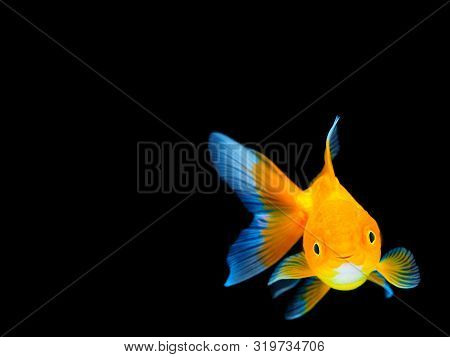 Smiling Goldfish On Black Background,goldfish Swimming On Black Background ,gold Fish,decorative Aqu