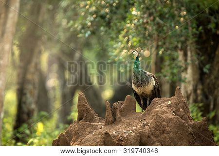 Female Indian Peafowl (pavo Cristatus) Perched On Termite Nest In Jungle, Yala National Park, Sri La