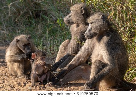 A Family Of Chacma Baboons With A Playful Baby.