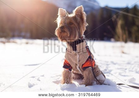 Yorkshire Terrier Sitting In The Snow Wearing Overalls. Dog Yorkshire Terrier Walking In The Snow. D