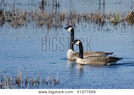 Two Canada Geese Swimming on a Pond poster