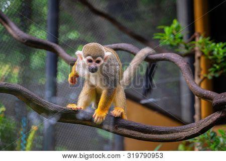 Squirrel Monkey, Saimiri Oerstedii, Sitting On The Tree Trunk With Green Leaves. Monkey In The Tropi