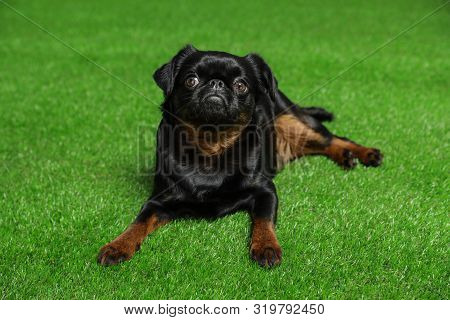 Adorable Black Petit Brabancon Dog Lying On Green Grass