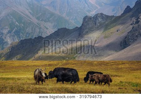 Yak-tibetan Cow. A Livestock That Is Kept High In The Mountains. Yaks Graze In An Alpine Valley Amid