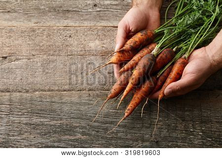 Fresh Unwashed Carrots With Greens In Mans Hands On Old Wooden Planks, Copy Space