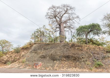 Kruger National Park, South Africa - May 15, 2019: A Baobab Tree, Andansonia Digitata, And A Memoria