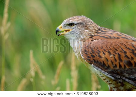 Portrait Of Ferruginous Hawk Showing Rust Colored Feathers And Yellow Base Of Beak Against Green Of