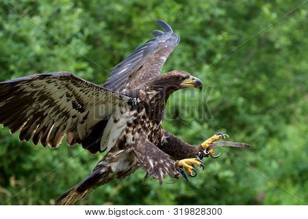 Trained Immature Bald Eagle Approaches Landing, Talons Outstretched And Jesses Flapping, The Raptors