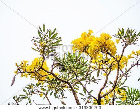 Golden Trumpet Tree At Park, Beautiful Tabebuia Chrysantha (golden Tree, Golden Trumpet Tree, Yellow