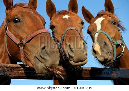 three  heads of a horses