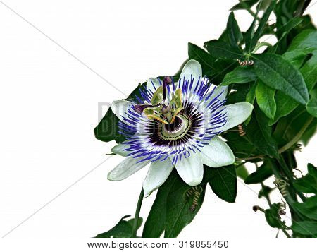 Blue Passionflower, Passiflora Caerulea, Home Is Northern Argentina And Southern Brazil.