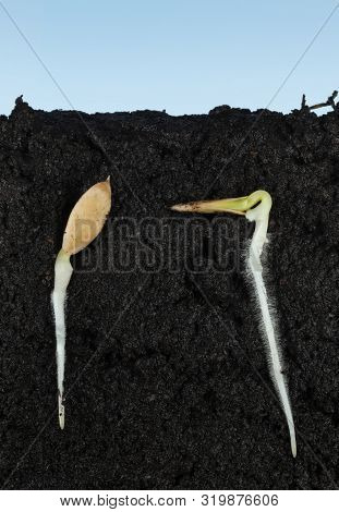 Macro Side Cut View Of Two Cucumber (cucumis Sativus) Seeds In Soil With Long Roots And Fibrils