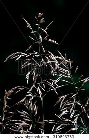 Beautiful Close Up Of A Frail Blooming Grass Panicle In Bright Sunshine With High Contrast On A Blac