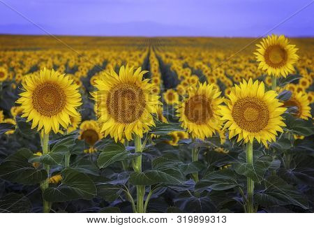 The Sunflower Field Blooms In Rows Along The Front Range Of Colorado At Dawn