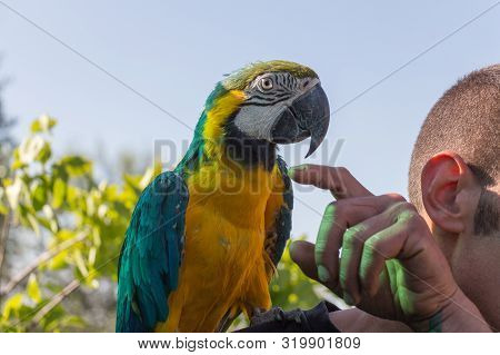 The View Of Parrot Sitting On Shoulder. Blue-and-yellow Macaw, Ara Ararauna.