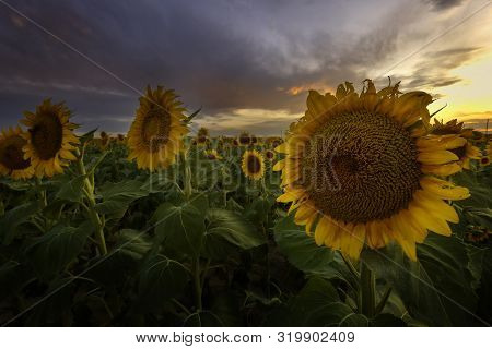 Close Up Of The Sunflower Fields At Sunset
