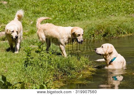 Cute Golden Retriever Friends Play And Enjoy The Water Together Outdoor, Next To A Little Pond, Surr
