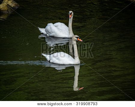 A Pair Of Mute Swans, Cygnus Olor, Swim In The Saza River In Nagasaki Prefecture, Japan. Only About