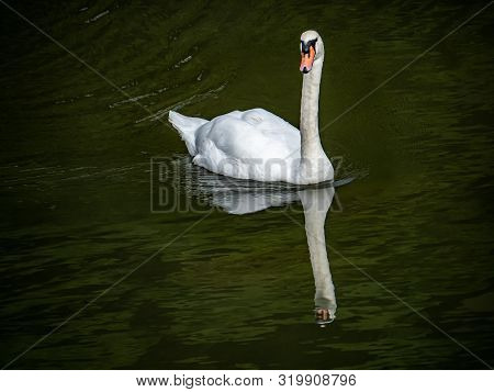 A Mute Swan, Cygnus Olor, Swim In The Saza River In Nagasaki Prefecture, Japan. Only About 200 Of Th
