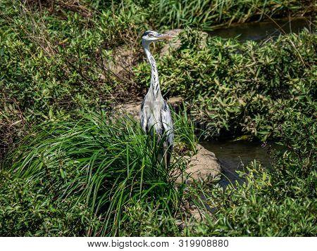 An Eastern Gray Heron, Ardea Cinerea Jouyi, Stands In The Weeds Along The Saza River, Nagasaki Prefe